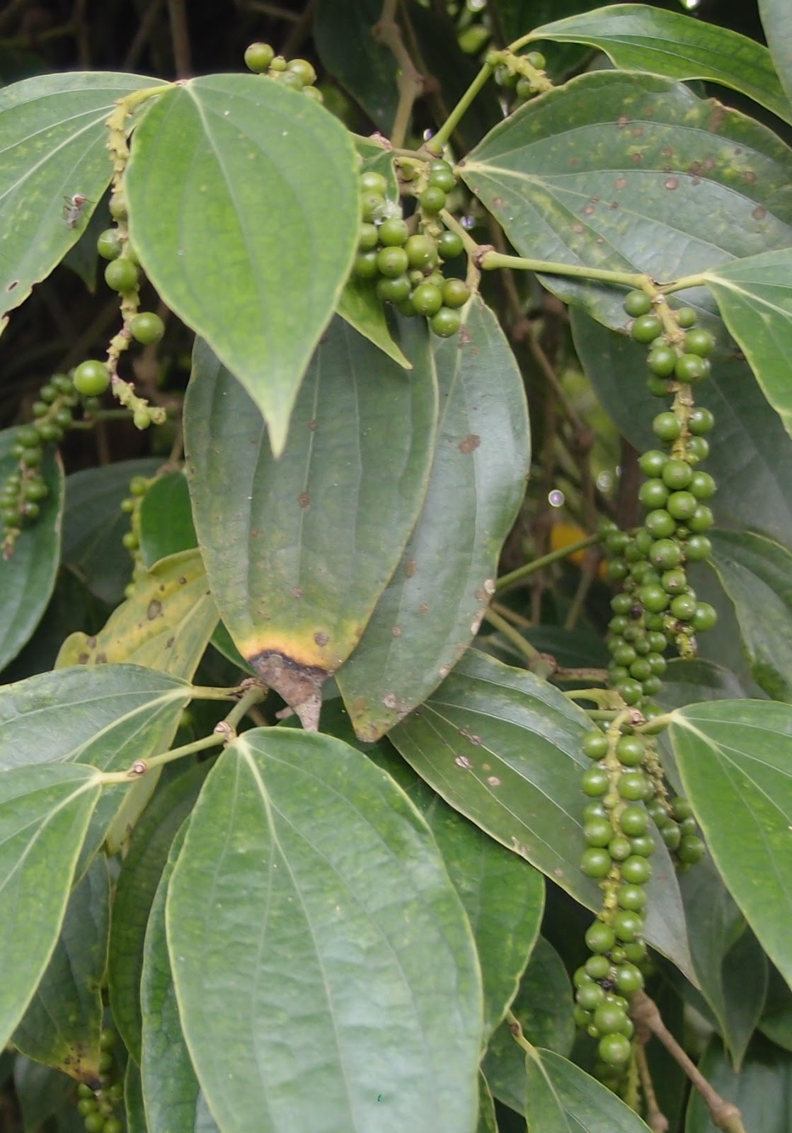 Li Na Herbs Lada Hitam Black Pepper