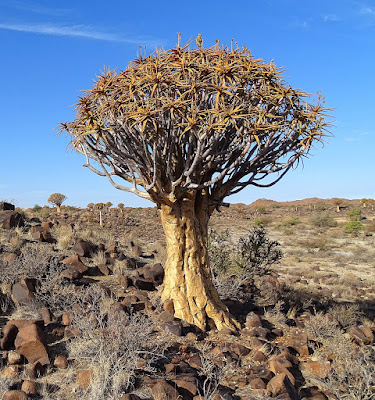 Aloe Dichotoma ( Quiver Tree ) - munsyafandi.com