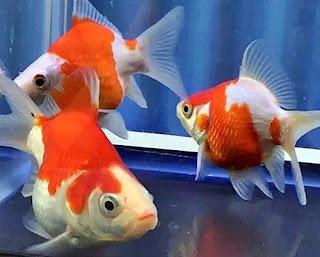Gambar Ikan Mas Koki Tamasaba (Ekor Mackerel)
