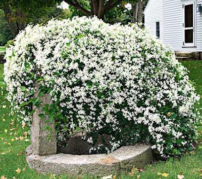 7 Tanaman Bunga Merambat Yang Wangi Dave Flora