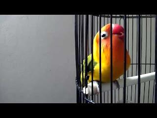 Download Lovebird Ngekek Panjang 5 Menit Untuk Master