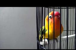 Download Suara Lovebird Durasi Panjang Dan Penjelasan Manfaatnya