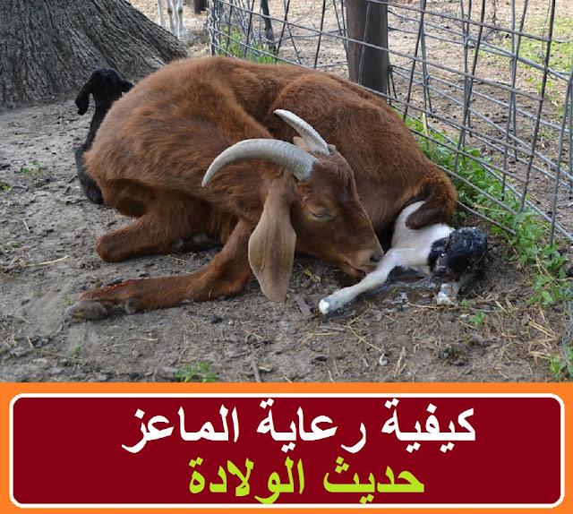 """""""ولادة الماعز"""" """"ولادة الماعز المتعسرة"""" """"ولادة الماعز في المنام"""" """"ولادة الماعز كم شهر"""" """"ولادة الماعز في المنام للعزباء"""" """"ولادة الماعز الشامي"""" """"ولادة الماعز الزرايبى"""" """"ولادة الماعز في المنام للحامل"""" """"ولادة الماعز توأم"""" """"ولادة الماعز البلدي"""" """"ولادة ماعز"""" """"ولاده ماعز"""" """"لحظة ولادة الماعز"""" """"ولادة معزة"""" """"ولادة ماعز متعسرة"""" """"ولاده ماعز متعسره"""" """"ولاده الماعز المتعسره"""" """"الولادة المتعسرة للماعز"""" """"ولاده الماعز في الحلم"""" """"الماعز حديث الولادة"""" """"ماعز حديث الولادة"""" """"تربية الماعز حديث الولادة"""" """"الماعز الكلهاري"""" """"الماعز العريشى فى مصر"""" """"الماعز عند الولادة"""" """"الماعز الصغير"""" """"الماعز حديثة الولاده"""" """"ماعز حديثة الولادة"""" """"ماعز الجمناباري"""" """"ماعز زرايبى"""" """"ماعز الكلهاري"""" """"ماعز يولد"""" """"تربية الماعز pdf"""" """"تربية الماعز للمبتدئين"""" """"تربية الماعز البلدي"""" """"مواصفات الماعز الكلهاري"""" """"مميزات الماعز الكلهاري"""" """"الماعز البرقى"""" """"الماعز السانين"""" """"الماعز الانجلونوبيان"""" """"الماعز شون"""" """"ماعز كلهاري"""" """"ماعز كلهاري للبيع"""""""