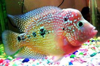 Ikan Louhan Rainbow King