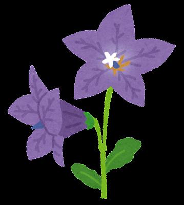 キキョウのイラスト(花)