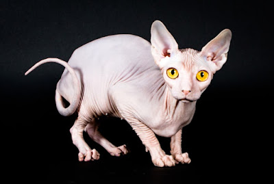 Jenis Ras Kucing Kohana