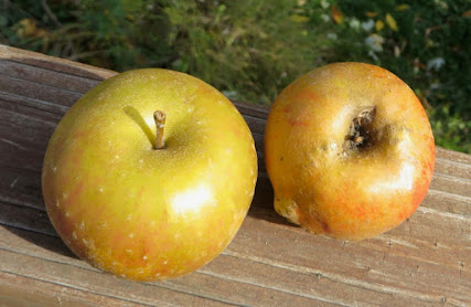 Stem ends of two russeted apples