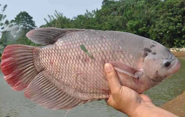 Ini Dia Supplier Jual Ikan Gurame Bibit & Konsumsi di Lampung