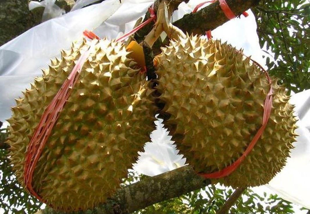 Bibit Tanaman Buah Durian Montong 60cm Tual