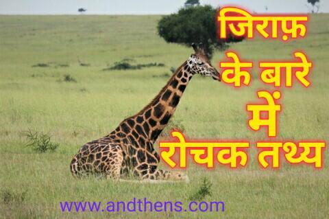Giraffe in hindi - जिराफ़ के बारे में 21 Amazing तथ्य।