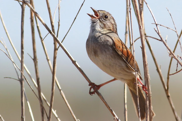 American swamp sparrows have sung the same songs for more than 1,000 years