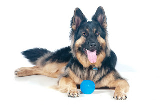 Everything about your King Shepherd