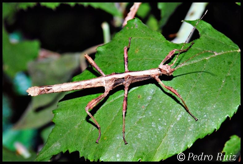 Ninfa macho L3 de Sungaya inexpectata, 3,3 cm de longitud