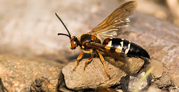 An Eastern Cicada Killer Wasp (Sphecius speciosus) on some rocks.