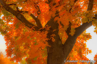 Cramer Imaging's professional quality nature photograph of orange maple leaves on a tall maple tree in Idaho Falls, Idaho