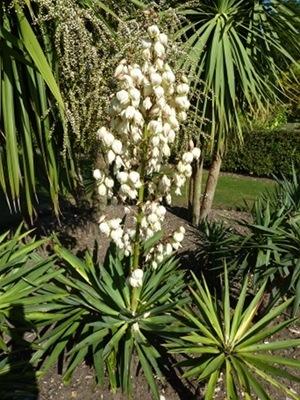 bright edge yucca, yucca filamentosa, adams needle yucca