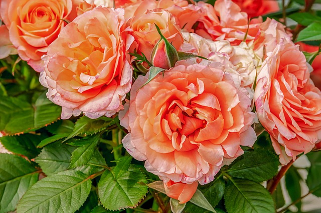 Rose colored or orange big roses and leaves