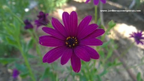 Margarita africana o Dimorphotheca ecklonis o Osteospermum ecklonis