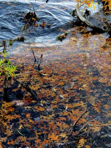oak leaves in the water