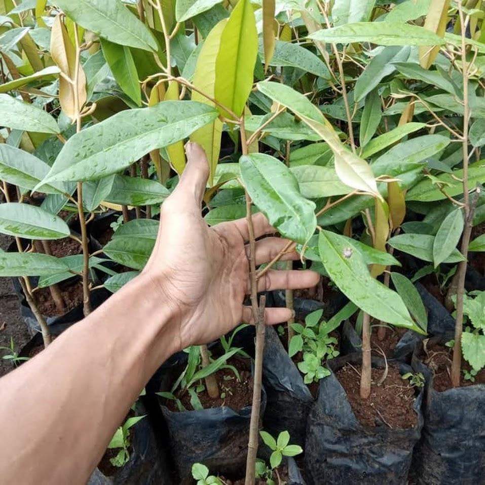 Terlaris Bibit durian Montong super istimewa bibit hasil okulasi cepat berbuah Sumatra Selatan