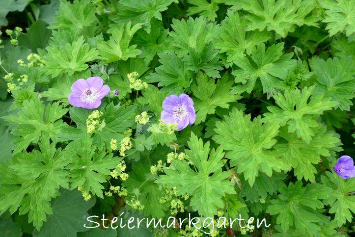 Storchschnabel-und-Frauenmantel-Steiermarkgarten