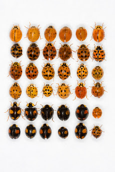 A display of the many variations of Asian Lady Beetles.