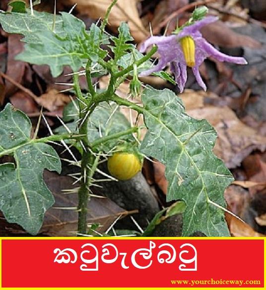 කටුවැල්බටු [Katuwelbatu] (Solanum virginianum) - Your Choice Way