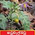 කටුවැල්බටු [Katuwelbatu] (Solanum virginianum)