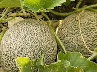 Mengenal Jenis-Jenis Kultivar Melon dan Varietas Unggulannya