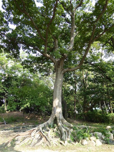佐太天神宮の森 子宝の樹