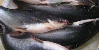 Umpan Ikan Jendil Sungai Brantas Paling Jos