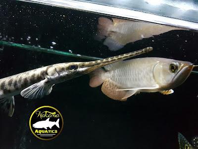 Ikan tipe Top Feeder (Tipe Atas)