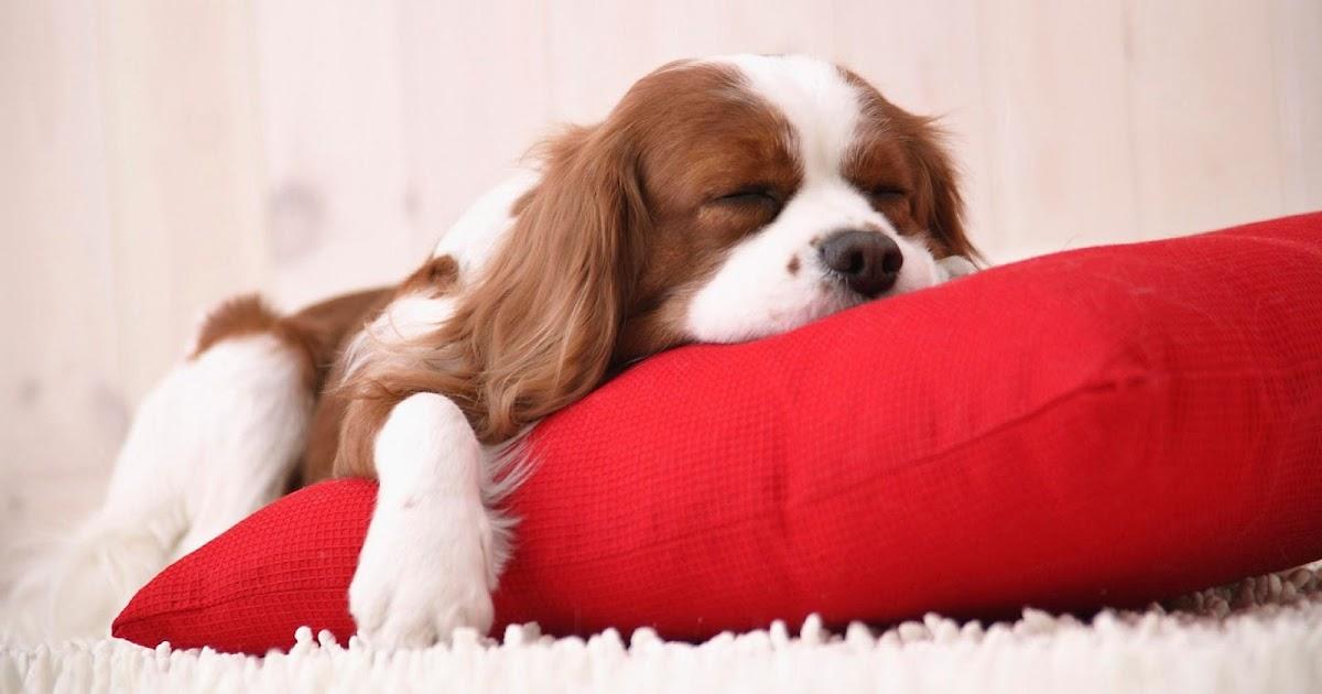 Как приучить собаку (щенка) к месту в квартире или частном ...