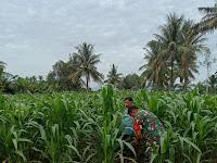 Tingkatkan Hasil Panen, Babinsa Koramil 10/SR Bantu Petani Merawat Jagung