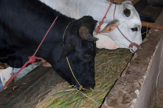 nutrisi ternak ayam broiler,nutrisi ternak sapi,nutrisi ternak kambing