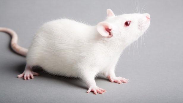 Tin Mừng: Một nghiên cứu của Israel giúp chuột bị tê liệt phục hồi khả năng đi lại