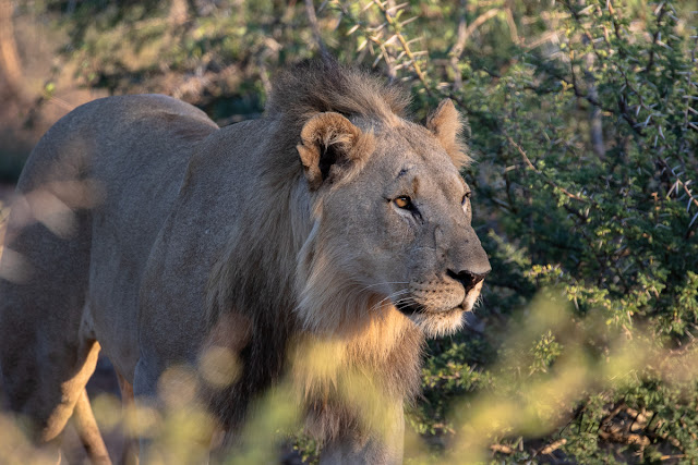 Young Male Lion spotted during an early morning drive