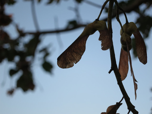 Sycamore seeds almost as silhouette against blue of sky