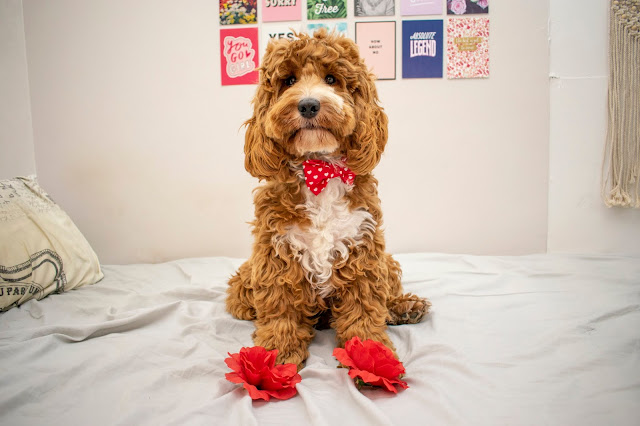 Red and white cockapoo sat on bed with red roses at paws and red bow tie on
