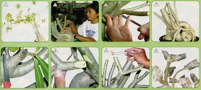 Grooming Adenium