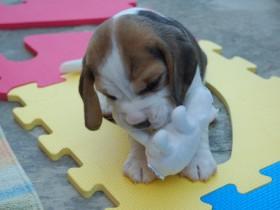estimulação sensorial em cães