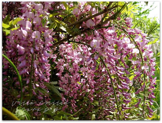 pink wisteria italy