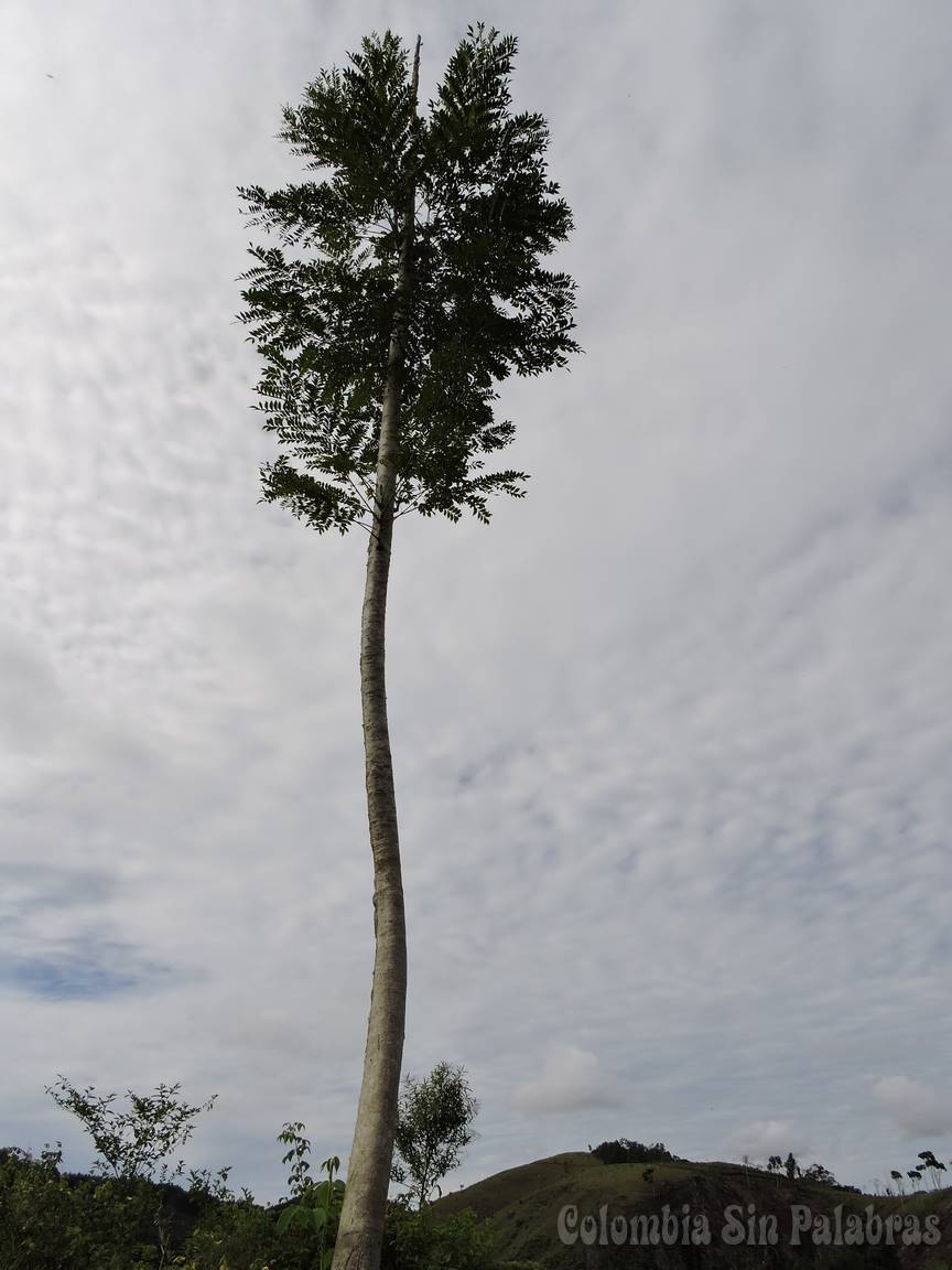Árbol torcido y alto