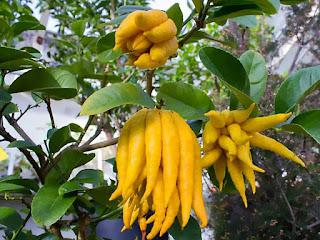 Frukt på fingercitronträd