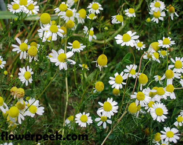 Tips on how to grow Chamomile Plant from seed