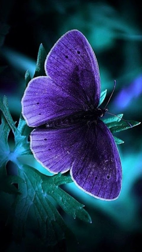 Con bướm màu tím