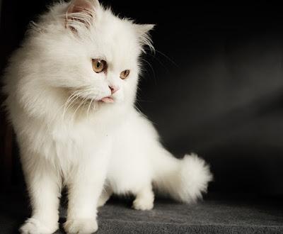القط الفارسي