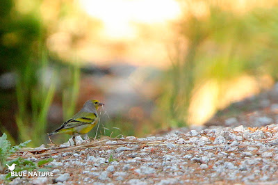 Esta pequeña especie de fingílido es conocida como verderón serrano (Carduelis citrinella). Es un ave forestal que vive normalmente en altura y zonas serranas como su nombre indica.