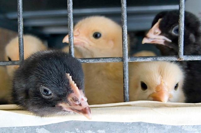kandang ideal ayam kub