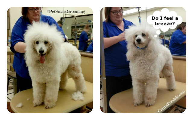 Standard Poodle on PetSmart grooming table.